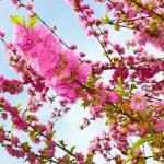 Sakura in springtime — Stock Photo