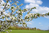 Flowering cherry branch — Stock Photo