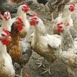图库照片: Chickens on poultry yard