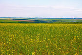 Blooming canola field — Foto Stock