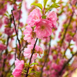 Sakura in spring time — Stock Photo
