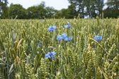 Cornflowers on the wheat field — Foto Stock