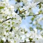 Rapid flowering of sweet cherry tree — Stock Photo #45085943