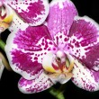 Beautiful spotty orchid2 — Stock Photo #12007649