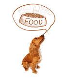 食べ物について夢を見てかわいいコッカースパニエル — ストック写真