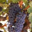 Wine grapes - Foto Stock