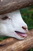 Noworodek owca w stajni — Zdjęcie stockowe