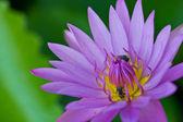 Vicino bee e loto viola — Foto Stock