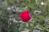 Red rose as a natural and holidays background — Stock Photo