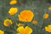 Yellow flowers on field — Stock Photo