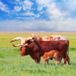 ankole watusi — Stock Photo