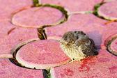 Passerine nestling — Stock Photo