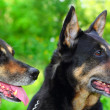 Stock Photo: Two shepherd dogs