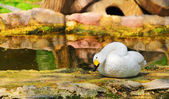 Bewick's Swan — Stock Photo