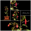 Fuchsia collage — Stock Photo