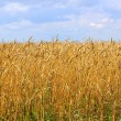 Yellow grain ready for harvest growing in a farm field — Stock Photo #12678418