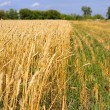 Yellow grain ready for harvest growing in a farm field — Stock Photo #12678425