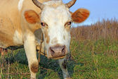 Cow against a pasture of fresh grass — Stock Photo
