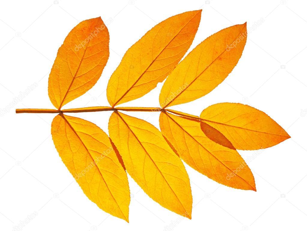 какие листья у ясеня