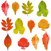 Collection of tree leaves isolated on white background — Stock Photo