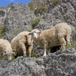 Sheep on beautiful mountain meadow — Stock Photo