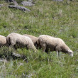 Stock Photo: Sheep on beautiful mountain meadow