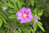 Wild rose: flowers and leaves — Stock Photo