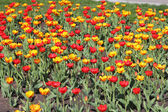 Yellow and red tulip field — Stock Photo