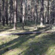 Beautiful coniferous forest, steadicam shot. — Stock Video
