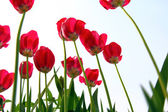 Red tulips, view from below against the sky. — Stock Photo