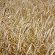 Yellow grain ready for harvest growing in a farm field — Stock Photo