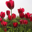 Red tulips in field - medium shot. — Stock Video