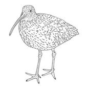 Eurasian Curlew, bird. Vector illustration. — Stok Vektör