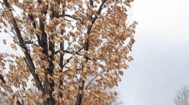 Dry oak leaves in the wind — Stock Video