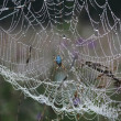 Web in dew — Stock Photo