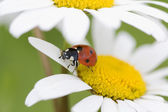 Ladybug on a flower — Foto de Stock