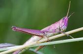 Gräshoppa på ett gräs — Stockfoto