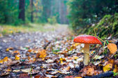 Agaric de mouche — Photo
