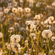 Dandelions — Stock Photo #17411605