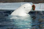 Beluga whale in water — Stock Photo