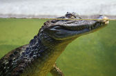 Crocodile in the water — Stockfoto