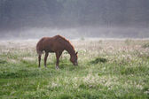 Horse grazing on a meadow — Stock Photo