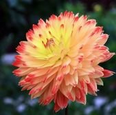 Orange dahlias — Stock Photo