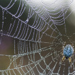 Spider on web — Stock Photo #17464839