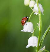 Joaninha em uma flor — Foto Stock