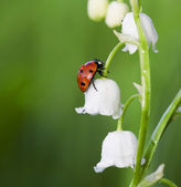 Ladybug on a flower — Foto Stock