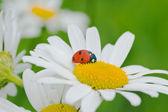 Ladybird on a camomile — Stock Photo