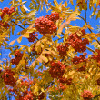 Mountain ash — Stock Photo