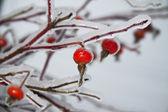 Frozen fruit of winter briar — Stock Photo