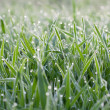 Green grass — Stock Photo #22922854